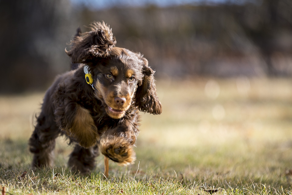 Figaro – Cocker Spaniel – Full fart